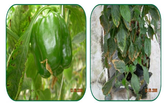 کمبود بر در مرحله زایشی و میوه فلفل دلمه سبز
