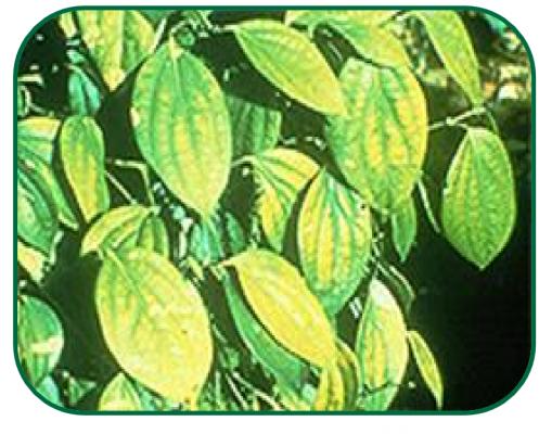 کمبود منیزیم در فلفل دلمه سبز