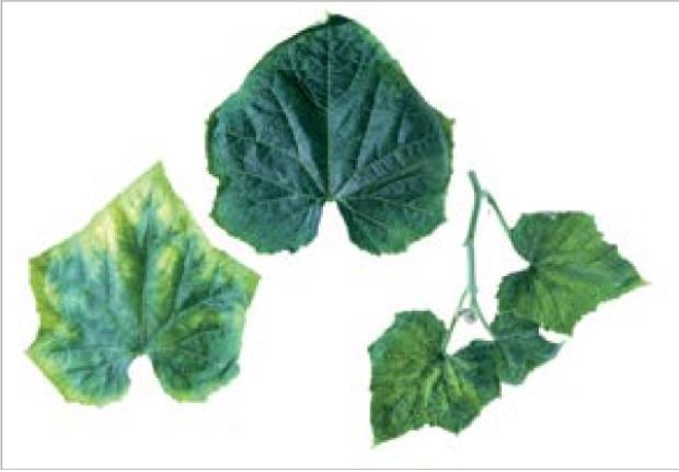 کمبود بور در گیاه خیار