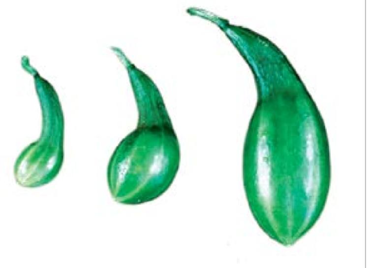 کمبود پتاس میوه خیار